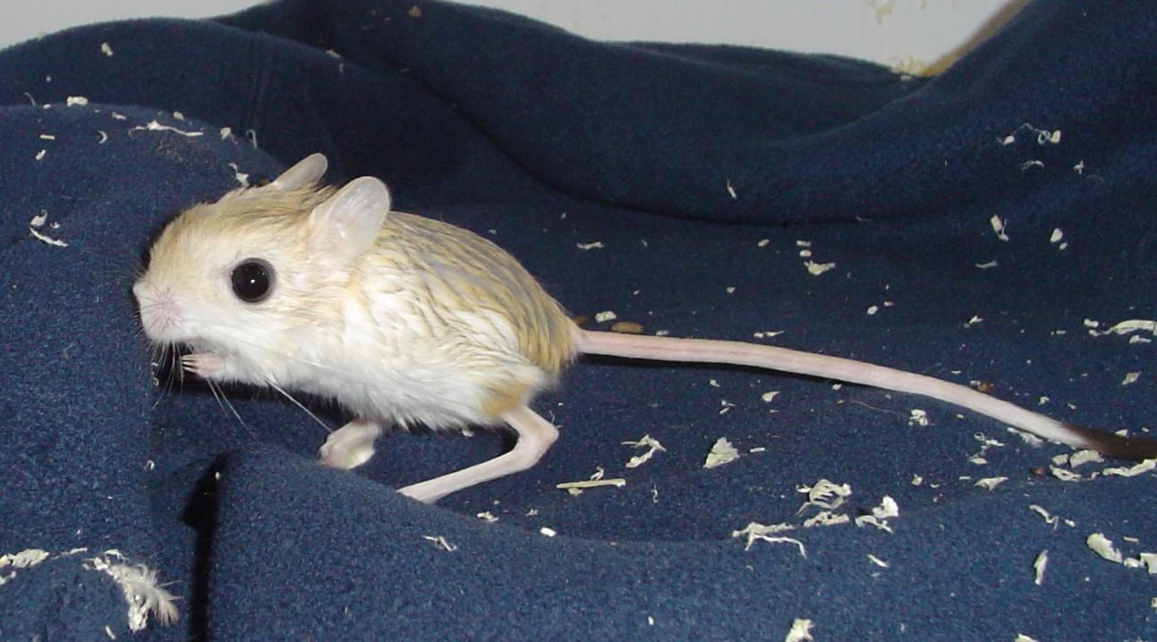 长尾巴的跳鼠~; 世界上最小的
